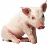 - За свине